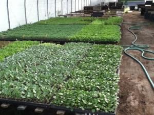 Picadilly greens transplants 2 2013