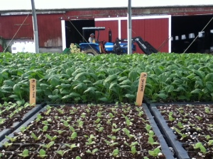 Picadilly greens transplants 2013