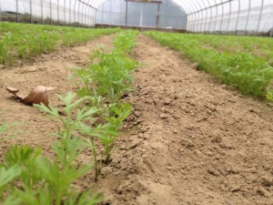 Riverland early carrots in the high tunnel