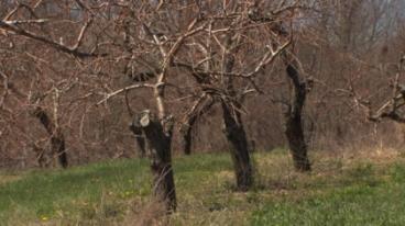 barrenpeachtrees